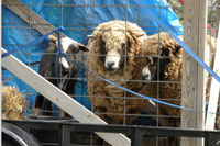Sheep_Shearing_5