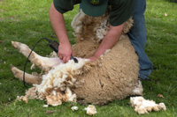 Sheep_shearing